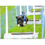 flyball harness