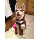 green puppy harness and purple collar